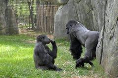 Ζώα ζωολογικών κήπων. Γορίλλες Στοκ Εικόνες