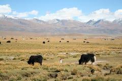ζώα που βόσκουν στον τομέα με τη σειρά βουνών του Θιβέτ στο υπόβαθρο Στοκ εικόνες με δικαίωμα ελεύθερης χρήσης