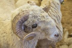 Ζώα που πωλούνται για τη θυσία - τουρκικό Kurban Bayrami στοκ φωτογραφία με δικαίωμα ελεύθερης χρήσης