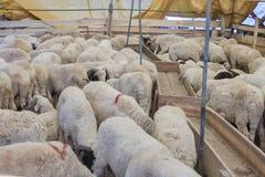 Ζώα που πωλούνται για τη θυσία - τουρκικό Kurban Bayrami στοκ φωτογραφίες με δικαίωμα ελεύθερης χρήσης