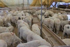 Ζώα που πωλούνται για τη θυσία - τουρκικό Kurban Bayrami στοκ φωτογραφία