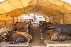 Ζώα που πωλούνται για τη θυσία - τουρκικό Kurban Bayrami στοκ εικόνα