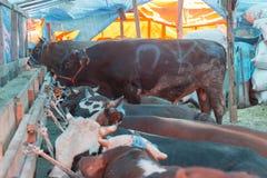 Ζώα που πωλούνται για τη θυσία - τουρκικό Kurban Bayrami στοκ εικόνες με δικαίωμα ελεύθερης χρήσης