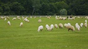 Ζώα προβάτων και βοοειδών που βόσκουν στο λιβάδι, επιχείρηση καλλιέργειας στην αγροτική περιοχή απόθεμα βίντεο