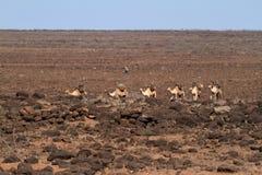 Ζώα στις οδούς της Αιθιοπίας Στοκ εικόνες με δικαίωμα ελεύθερης χρήσης