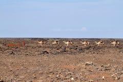 Ζώα στις οδούς της Αιθιοπίας Στοκ Φωτογραφίες