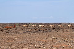 Ζώα στις οδούς της Αιθιοπίας Στοκ φωτογραφία με δικαίωμα ελεύθερης χρήσης