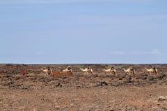 Ζώα στις οδούς της Αιθιοπίας Στοκ Εικόνες