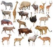 Ζώα της Αφρικής Στοκ εικόνες με δικαίωμα ελεύθερης χρήσης