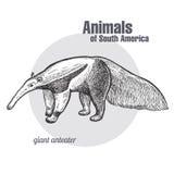 Ζώα του γίγαντα της Νότιας Αμερικής anteater απεικόνιση αποθεμάτων