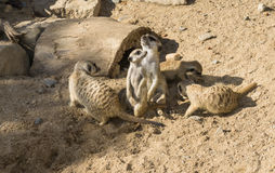 Ζώα Meercat meerkat στο ζωολογικό κήπο Στοκ Εικόνες
