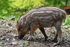 Ζώο - άγριος κάπρος στις άγρια περιοχές Οι νεολαίες αντέχουν στο φύση-δασικό scrofa Sus Στοκ φωτογραφίες με δικαίωμα ελεύθερης χρήσης
