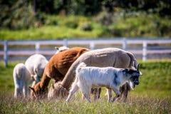 Ζώο λάμα σε μια ομάδα στοκ φωτογραφίες με δικαίωμα ελεύθερης χρήσης