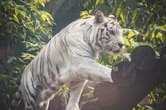 Ζώο: Άσπρο περπάτημα τιγρών στοκ εικόνα με δικαίωμα ελεύθερης χρήσης