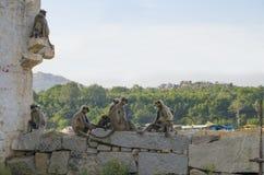 Ζώο ένας πίθηκος στο νότο επίπεδο Langur της Ινδίας στην αρχαία πόλη Hapmi στην Ινδία Στοκ Φωτογραφία