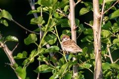 Ζώο λίγο σπουργίτι πουλιών στα πράσινα αλσύλλια Στοκ φωτογραφία με δικαίωμα ελεύθερης χρήσης
