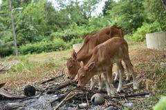 Ζώο αγελάδων Στοκ Φωτογραφία