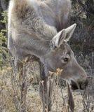 ζώο ενός έτους αλκών Στοκ εικόνα με δικαίωμα ελεύθερης χρήσης
