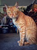 ζώο κατοικίδιων ζώων γατών στοκ εικόνες με δικαίωμα ελεύθερης χρήσης