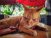 ζώο κατοικίδιων ζώων γατών στοκ φωτογραφίες