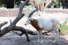 Ζώο με τα κέρατα στοκ εικόνα με δικαίωμα ελεύθερης χρήσης