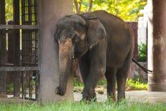 Ζώο: Ο ταϊλανδικός ελέφαντας Chang, το επίσημο εθνικό ζώο της Ταϊλάνδης, είναι ινδικός ασιατικός ελέφαντας ελεφάντων Φυσικός βιότ στοκ φωτογραφία