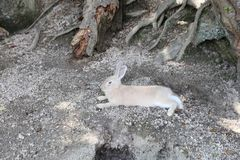 ζώο σε Okunoshima, Χιροσίμα, Ιαπωνία στοκ εικόνες