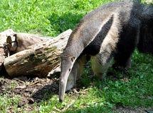 Ζώο - anteater Στοκ εικόνα με δικαίωμα ελεύθερης χρήσης