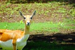 Ζώο Buck ελαφιών Στοκ Φωτογραφία