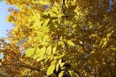Ηλέκτρινα κίτρινα φύλλα της κόκκινης τέφρας το φθινόπωρο Στοκ φωτογραφίες με δικαίωμα ελεύθερης χρήσης