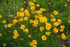 Ηλέκτρινα κεφάλια λουλουδιών του lanceolata Coreopsis το καλοκαίρι Στοκ Εικόνες