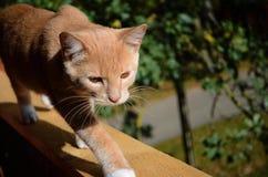 Ηλέκτρινα μάτια χρώματος, κόκκινη και όμορφη γάτα Nica, Λετονία στοκ εικόνα