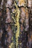 Ηλέκτρινες ροές σφρίγους ρητίνης στα ρεύματα κατά μήκος του φλοιού το στοκ φωτογραφία