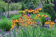 Ηλέκτρινες ρόδες ` Blanketflower aristata ` Gaillardia Στοκ εικόνα με δικαίωμα ελεύθερης χρήσης