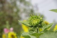 Ηλίανθοι ή ηλίανθος στον κήπο στοκ εικόνα με δικαίωμα ελεύθερης χρήσης