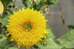 Ηλίανθοι ή ηλίανθος στον κήπο στοκ εικόνα