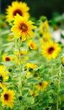 ηλίανθοι κήπων Στοκ εικόνα με δικαίωμα ελεύθερης χρήσης