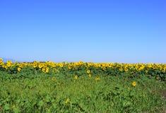 ηλίανθοι μπλε ουρανού Στοκ φωτογραφία με δικαίωμα ελεύθερης χρήσης