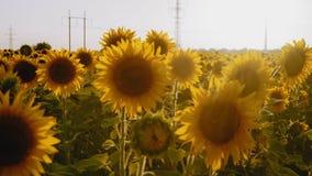 Ηλίανθοι που ταλαντεύονται στον αέρα στον τομέα στο ενάντιο φως του ήλιου απόθεμα βίντεο