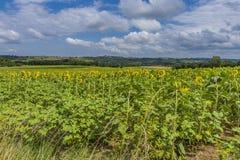 Ηλίανθοι στα ατλαντικά Πυρηναία aquitaine Γαλλία στοκ εικόνα