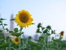Ηλίανθοι στον κήπο στο πάρκο στοκ εικόνα με δικαίωμα ελεύθερης χρήσης