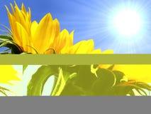 ηλίανθος κίτρινος στοκ φωτογραφία με δικαίωμα ελεύθερης χρήσης