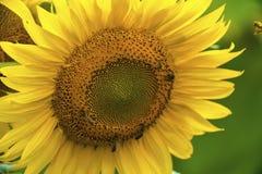 Ηλίανθος και μέλισσες στον κήπο στοκ φωτογραφίες