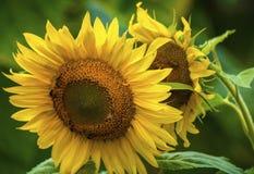 Ηλίανθος και μέλισσες στον κήπο στοκ φωτογραφία με δικαίωμα ελεύθερης χρήσης