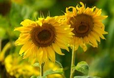 Ηλίανθος και μέλισσες στον κήπο στοκ εικόνα με δικαίωμα ελεύθερης χρήσης