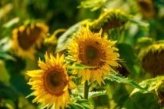 Ηλίανθος και μέλισσες στον κήπο στοκ εικόνες