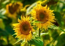 Ηλίανθος και μέλισσες στον κήπο στοκ εικόνες με δικαίωμα ελεύθερης χρήσης