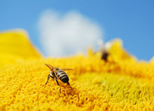 ηλίανθος μελισσών Στοκ φωτογραφίες με δικαίωμα ελεύθερης χρήσης
