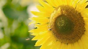 Ηλίανθος με την πολυάσχολη μέλισσα απόθεμα βίντεο