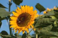 Ηλίανθος με τις μέλισσες Στοκ Εικόνες